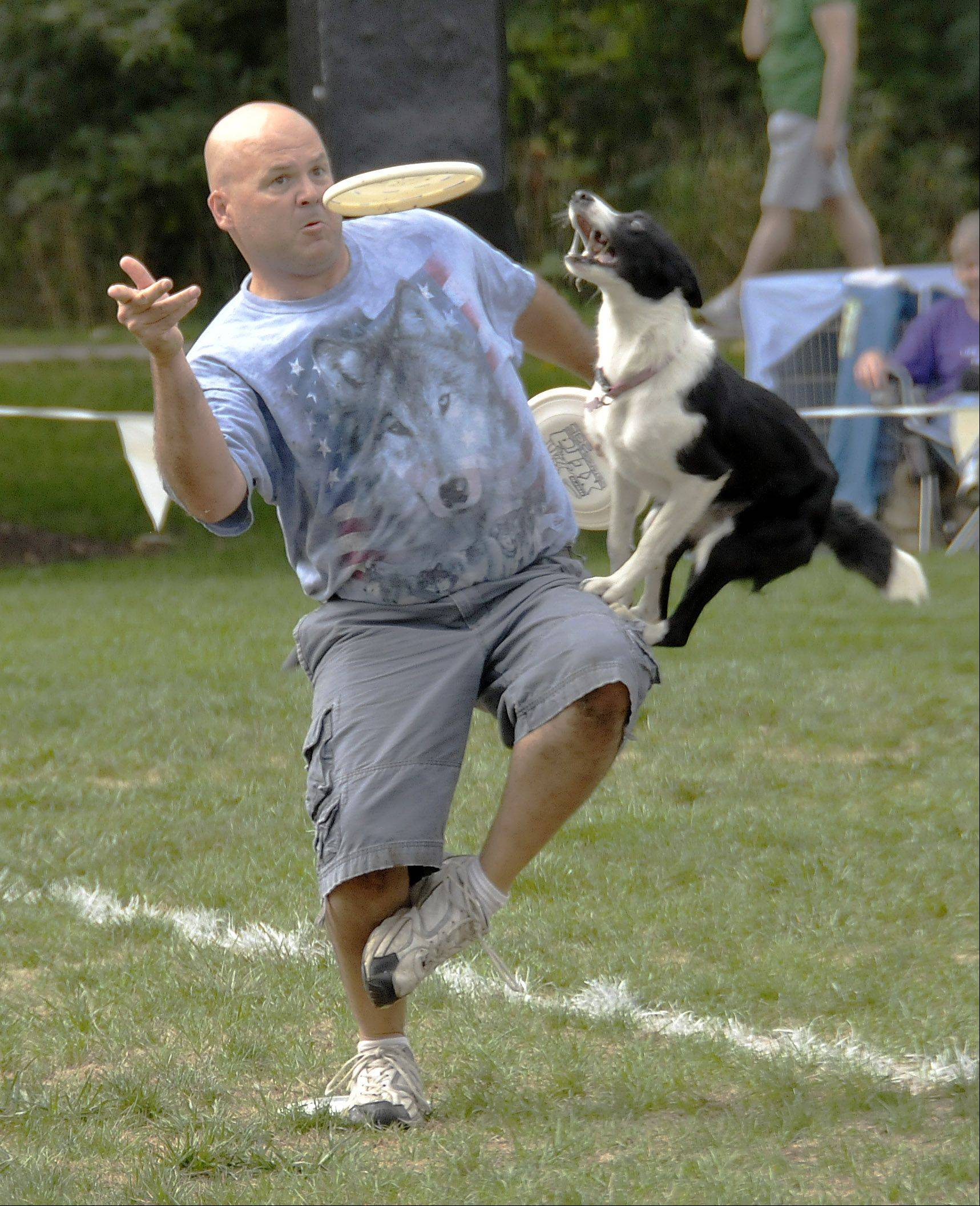 Riley, a border collie, jumps up to grab a flying disc tossed by his owner, Mark Faragoi, of Plainfield. Naperville's Last Fling festival continued Sunday with the Ashley Whipped disc dog competition.